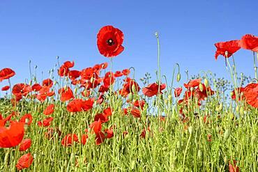 Poppy flower (Papaver rhoeas), corn poppy, poppy field Germany