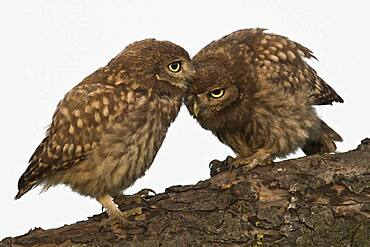 Two young Little owls (Athene noctua), Emsland, Lower Saxony, Germany, Europe