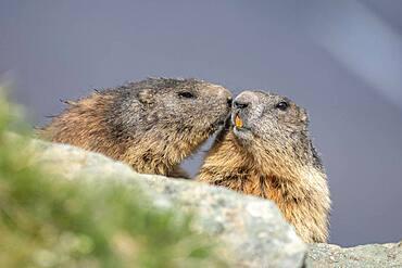 Two alpine marmots (Marmota marmota), kissing, Hohe Tauern National Park, Carinthia, Austria, Europe