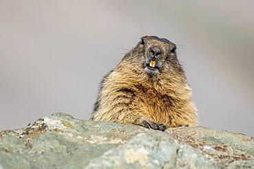 Alpine Marmot (Marmota marmota), Hohe Tauern Natonal Park, Carinthia, Austria, Europe