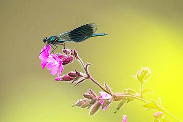 Banded demoiselle (calopteryx splendens), male, sitting on red campion (Silene dioica) red campion, Hesse, Germany, Europe