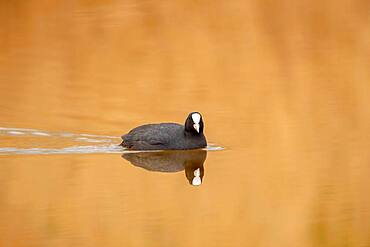 A coot common coot (Fulica atra) reflected on the water surface in the early morning, North Rhine-Westphalia, Germany, Europe