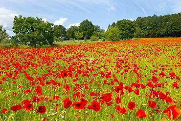 Poppy, poppy flowers (Papaver rhoeas), poppy field, Lower Saxony, Germany, Europe