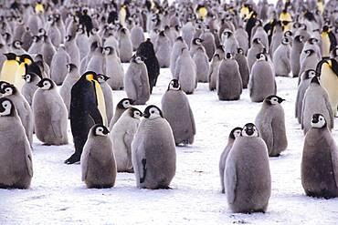 Emperor penguin (Aptenodytes forsteri) colony near the British Haley Antarctic station, Atka Bay, Weddell Sea, Antarctica
