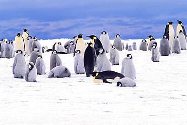 Emperor penguin (Aptenodytes forsteri) colony, Stancomb-Wills Glacier, Atka Bay, Weddell Sea, Antarctica