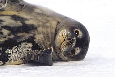 Weddell Seal (Leptonychotes weddellii) resting on snow, Atka Bay, Weddell Sea, Antarctica