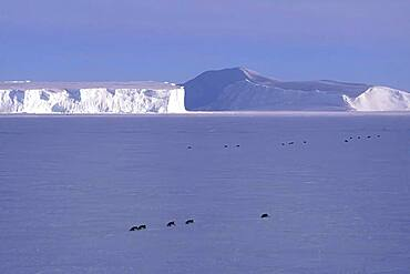 Emperor penguins crawling in front of icebergs at Riiser-Larsen Ice Shelf, Queen Maud Land Coast, Weddell Sea, Antarctica