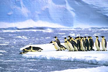 Emperor penguins (Aptenodytes forsteri) diving in the water near the German Neumayer Antarctic station, Atka Bay, Weddell Sea, Antarctica