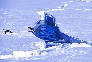 Emperor Penguin jumping out of the water, Riiser-Larsen Ice Shelf, Queen Maud Land Coast, Weddell Sea, Antarctica