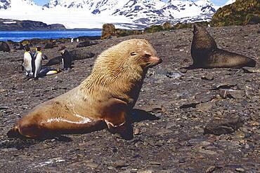 Blonde Antarctic Fur Seal (Arctocephalus gazelle), Prion Island, South Georgia