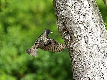 Common starling (Sturnus vulgaris) feeding young bird at breeding cavity, North Rhine-Westphalia, Germany, Europe