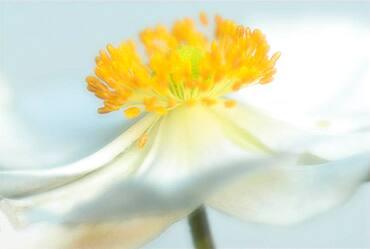 Anemone (Anemone pulsatilla) in bloom, North Rhine-Westphalia, Germany, Europe