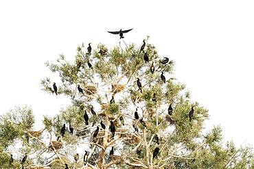 Cormorants (Phalacrocoracidae) sitting on tree, Lake Kerkini, Macedonia, Greece, Europe