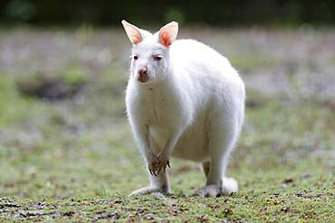 Red-necked wallaby (Macropus rufogriseus), animal portrait, albino, captive, Germany, Europe