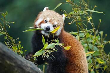 Red panda (Ailurus fulgens fulgens) feeding, captive, Germany, Europe