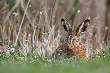 European hare (Lepus europaeus) resting in a meadow, Peene Valley River Landscape nature park Park, Mecklenburg-Western Pomerania, Germany, Europe