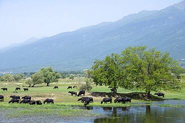 Asian water buffalo (Bubalus bubalis) grazing in wetland, Lake Kerkini, Macedonia, Greece, Europe