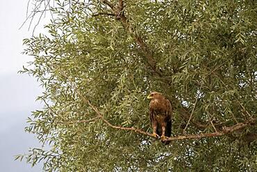 Long-legged Buzzard (Buteo rufinus), sitting on a branch, Lake Kerkini, Macedonia, Greece, Europe