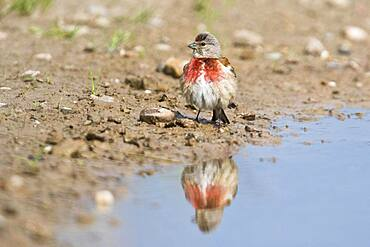 Linnet (Carduelis cannabina), reflected in a puddle, Emsland, Lower Saxony, Germany, Europe