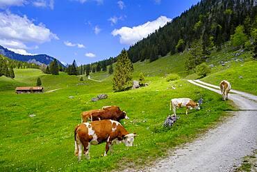Cows on the mountain pasture, Arzmoos, Sudelfeld, Upper Bavaria, Bavaria, Germany, Europe