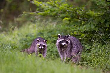 Raccoon (Procyon lotor) with cubs, Rhineland-Palatinate, Germany, Europe