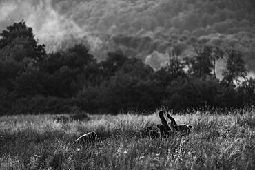 Brown bear (Ursus arctos) funny, on the meadow, Bieszczady, Poland, Europe