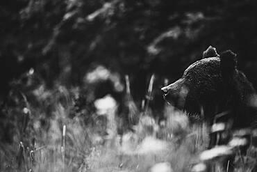 Brown bear (Ursus arctos), on the meadow, Bieszczady, Poland, Europe