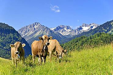 Domestic Cattles (Bos primigenius taurus) grazing on an alpine meadow, Oberstdorf, Allgaeu Alps, Allgaeu, Bavaria, Germany, Europe