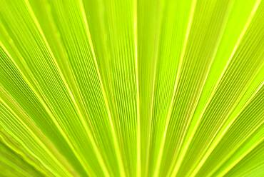Fan palm Mexican Fan Palm (Washingtonia robusta), palm frond, close-up, North Rhine-Westphalia, Germany, Europe