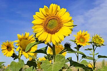 Sunflowers (Helianthus annuus), blossoms, blue sky, sunflower field, North Rhine-Westphalia, Germany, Europe