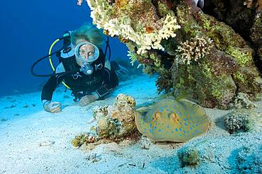Diver looking at Bluespotted ribbontail ray (Taeniura lymma), Red Sea