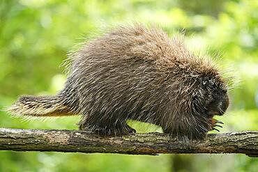 New World porcupine (Urson Erethizon Dorsatum) climbing on a branch, captive, France, Europe