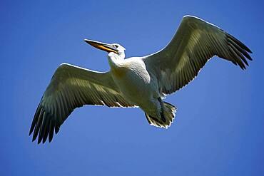 Dalmatian pelican (Pelecanus crispus), flying, France, Europe