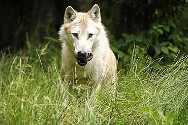 Timberwolf, American wolf Mackenzie Valley Wolf (Canis lupus occidentalis) animal portrait, Captive, France, Europe