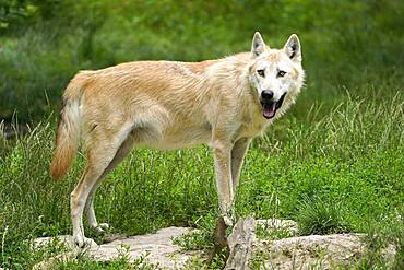 Timberwolf, American wolf Mackenzie Valley Wolf (Canis lupus occidentalis) standing, Captive, France, Europe