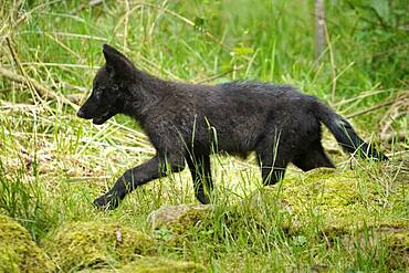 Timberwolf, American wolf Mackenzie Valley Wolf (Canis lupus occidentalis) pup in a meadow, Captive, France, Europe