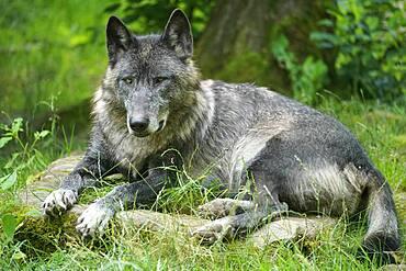 Timberwolf, American wolf Mackenzie Valley Wolf (Canis lupus occidentalis) lying, Captive, France, Europe