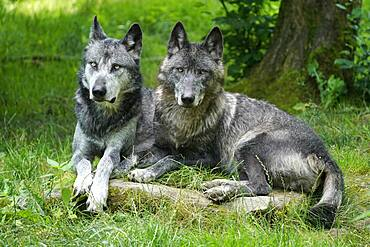 Timberwolf, American wolf Mackenzie Valley Wolf (Canis lupus occidentalis), two wolves lying in a meadow, Captive, France, Europe