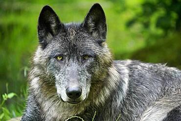 Timberwolf, American wolf Mackenzie Valley Wolf (Canis lupus occidentalis) lying, animal portrait, Captive, France, Europe