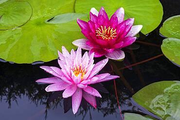 Pink Water lilies (Nymphaea), Baden-Wuerttemberg, Germany, Europe