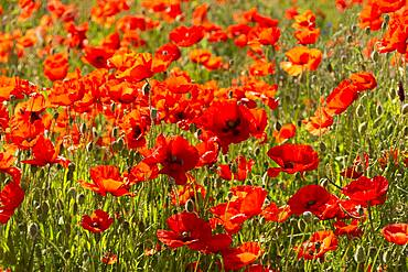 Field of poppies, Puy de Dome department, Auvergne-Rhone-Alpes, France, Europe