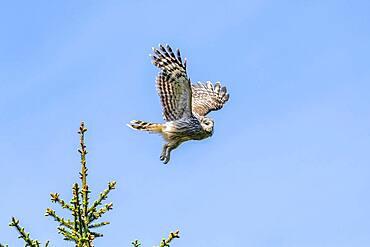 Ural owl (Strix uralensis) in flight, Notranjska Region, Slovenia, Europe