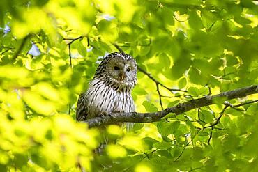 Ural owl (Strix uralensis) sitting on branch, Notranjska region, Slovenia, Europe