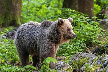 European brown bear (Ursus arctos arctos) in the forest, Notranjska region, Slovenia, Europe