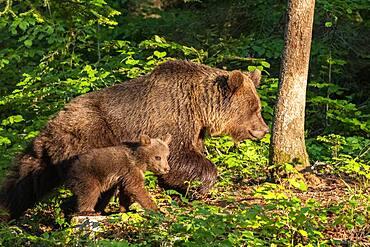 European brown bear (Ursus arctos arctos), mother with cub in forest, Notranjska Region, Slovenia, Europe