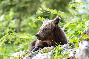 European brown bear (Ursus arctos arctos), lying in the forest, Notranjska region, Slovenia, Europe