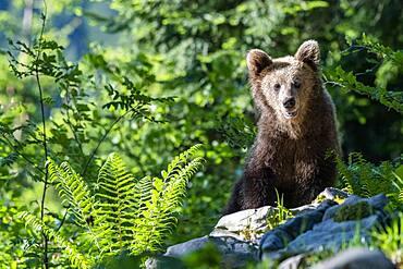 European brown bear (Ursus arctos arctos), in the forest, Notranjska Region, Slovenia, Europe