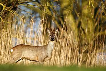 European roe deer (Capreolus capreolus), roebuck in a bast in a meadow, Naturpark Flusslandschaft Peenetal, Mecklenburg-Western Pomerania, Germany, Europe