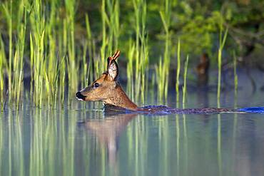 European roe deer (Capreolus capreolus), roebuck swimming through a river, Naturpark Flusslandschaft Peenetal, Mecklenburg-Western Pomerania, Germany, Europe