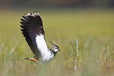 Northern lapwing (Vanellus vanellus) landing in a meadow, Peene Valley River Landscape nature park Park, Mecklenburg-Western Pomerania, Germany, Europe